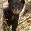 Image of Jo's cub Victoria taken April 2011 shortly after leaving her den. Victoria was born in January 2011.  Ursus americanus (American Black Bear).