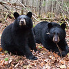 Image of Victoria amd Jo resting on a fall day taken October 2011. Victoria was born in 2011 and Jo in 2008. Ursus americanus (American Black Bear).