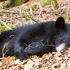 Image of Victoria resting on a fall day taken October 2011. Victoria was born in 2011. Ursus americanus (American Black Bear).
