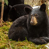 Image of Aster taken late March 2012.  Aster was born in January 2011. Ursus americanus (American Black Bear).