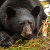 Image of Aspen resting taken late March 2012.  Aspen was born in January 2011. Ursus americanus (American Black Bear).