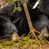 Image of Aster and  Aspen resting taken late March 2012.  They were born in January 2011. Ursus americanus (American Black Bear).