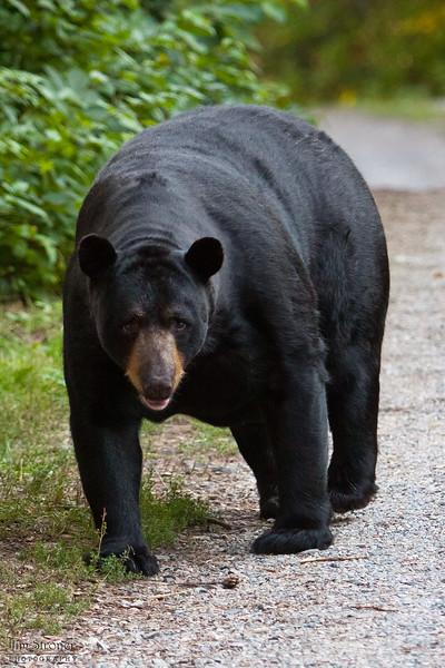 WRI-Black-Bear-9629