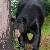 WRI-Black-Bear-9331