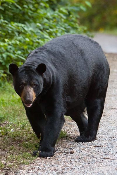 WRI-Black-Bear-9630