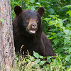 Image of Crackle taken July 2011. Crackle is one of the large males who pass through the research area. Ursus americanus (American Black Bear).