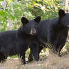 Image of Daisy and Drew cubs belonging to Bow taken August 2011.  It took over an hour before I could get an image of the two of them in the same frame and looking the same direction.    The cubs were born in 2011.  Ursus americanus (American Black Bear).