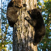 Image of Jewel's cub's Fern and Herbie climbing down a white pine taken April 2012.  Herbie was born in January 2012. Ursus americanus (American Black Bear).
