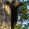 Image of Jewel's male cub Herbie climbing down a white pine taken April 2012.  Herbie was born in January 2012. Ursus americanus (American Black Bear).
