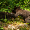 Image of Jewel's cubs Fern and Herbie playing taken June 2012.  Jewel was born in 2009. Ursus americanus (American Black Bear).