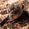 Image of Lily's cub Jason taken April 2011. Ursus americanus (American Black Bear).