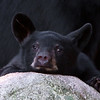 Image of Jim - one of RC's 3 male yearlings resting on a rock taken July 2011. Jim was born in 2010. Ursus americanus (American Black Bear).