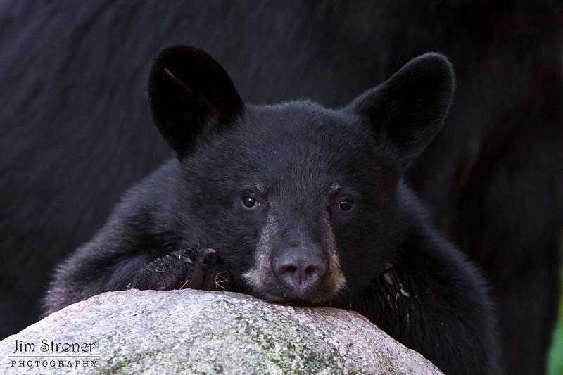 Image of Jim - one of RC's 3 male yearlings resting on a rock taken July 2011. Jim was born in 2010. Ursus americanus (American Black Bear).