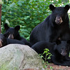 Image of RC and her cubs taken July 2010. The cubs was born in January 2010. Ursus americanus (American Black Bear).