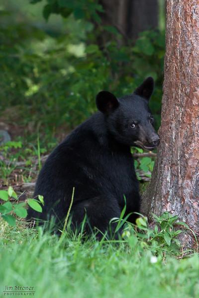 Image of Jim - one of RC's 3 male cubs taken July 2010. Jim was born in January 2010. Ursus americanus (American Black Bear).