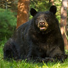 Image of One-eyed Jack taken July 2012.  Jack is one of the large males who pass through the research area.  Ursus americanus (American Black Bear).
