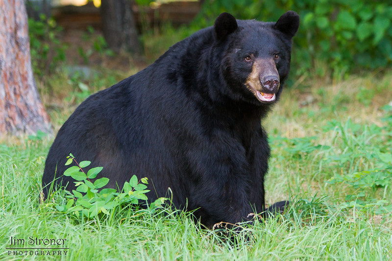 Image of unknown male resting on a hot day. Image taken July 2011. Ursus americanus (American Black Bear).