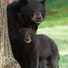 Image Donna and her cub taken July 2011. Donna was born in 2000 and her cub in 2011. Ursus americanus (American Black Bear).