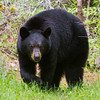 Image of Star taken May 2011. Star was born in 2009. Ursus americanus (American Black Bear).