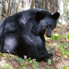 Image of Hope taken September 2011. This is one of the last images I took of Hope. Ursus americanus (American Black Bear).