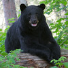 Image of Midnight taken July 2011. Midnight is one of the large males who pass through the research area.   Ursus americanus (American Black Bear).