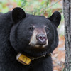 Image of Jo taken May 2011. Jo was born in 2008. Ursus americanus (American Black Bear).