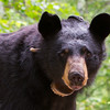 Image of Colleen taken July 2011. Colleen was born in 2003.    Ursus americanus (American Black Bear).