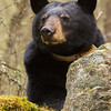 Image of June resting on a moss covered rock while her cubs sleep in a nearby tree taken May 2011. June was born in 2001. Ursus americanus (American Black Bear).