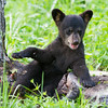 Image of Faith playing on a stump taken June 2011. Faith was born in January 2011. Ursus americanus (American Black Bear).