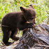Image of Faith attempting to rip apart a stump looking for ante larvae taken May 2011. Faith was spending the day with her mother Lily and sister Hope in a clear cut looking for ant larvae. Faith was born in 2011. Ursus americanus (American Black Bear).