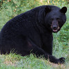 Image of Shylow resting on a hot day taken July 2011. Shylow was born on 2002. Ursus americanus (American Black Bear).