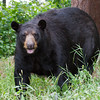 Image of Big Harry taken August 2011. Big Harry is one of the large males who pass through the research area.   Ursus americanus (American Black Bear).