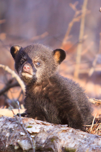 Image of Lily's cub Faith taken April 2011.  Faith was born in January 2011.  Ursus americanus (American Black Bear).