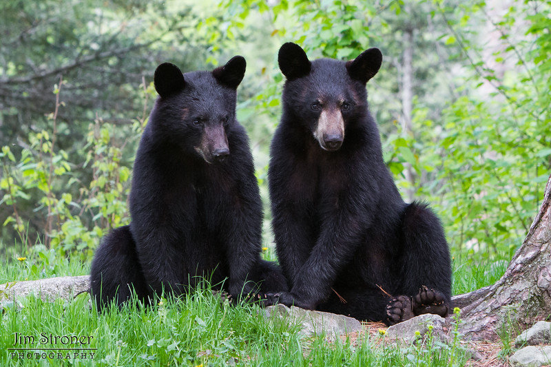 Image of brothers Jim and Bill taken taken May 2011. Jim and Bill were born in 2010. Ursus americanus (American Black Bear).