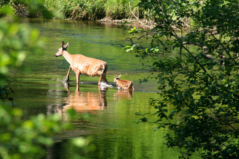 """""""Doe and Fawn"""" by Michael  