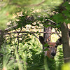 In a New Light: Wildlife Safari -Logan- Deer in Trees.