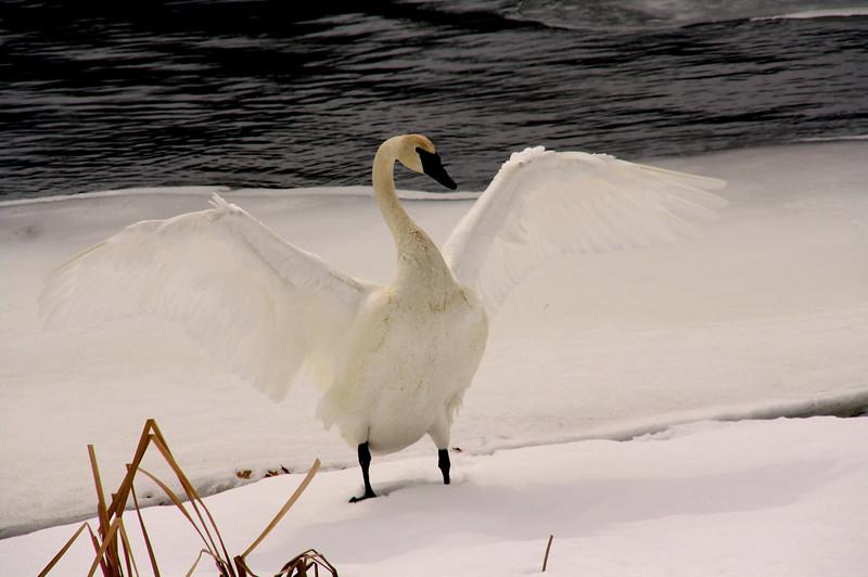 """In a New Light: Riverside Wildlife Safari - Micah, 14 - """"Dancing Swan"""""""