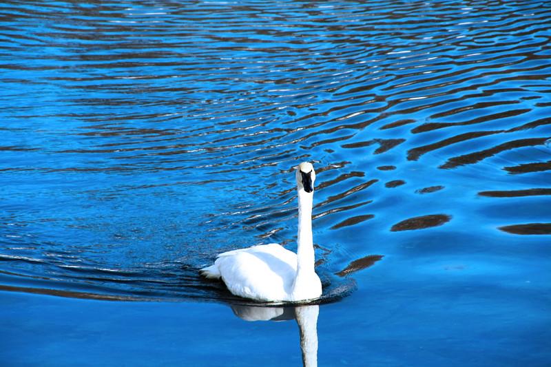 """Majestic Swan"" by David, 17  |  Wildlife Safari"