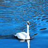 """Majestic Swan"" by David, 17  