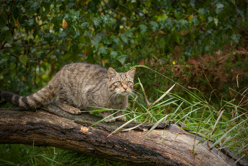 Scottish Wildcat on a log and ready to pounce