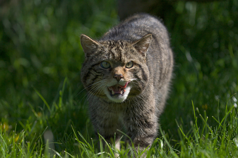 Scottish Wildcat walking in the grass and snarling