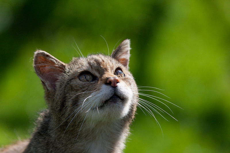 Scottish Wildcat gazing into the air