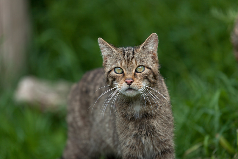 Scottish Wildcat looking straight ahead