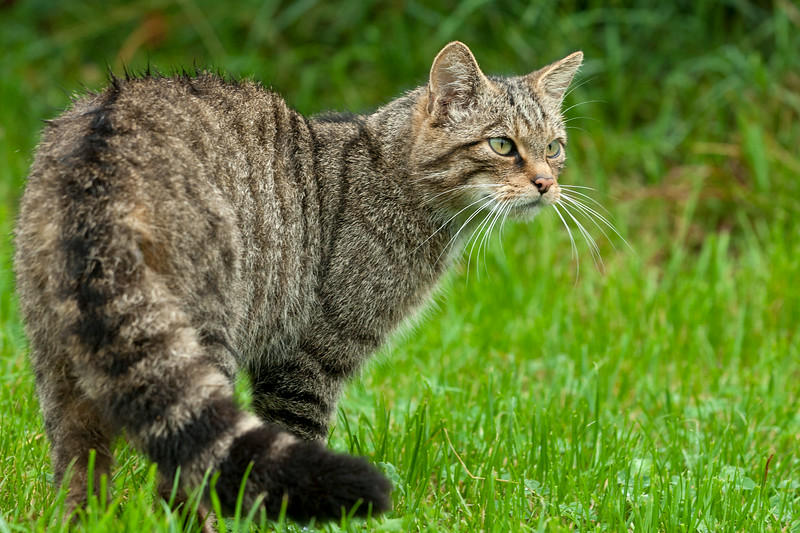 Scottish Wildcat showing its distinctive tail
