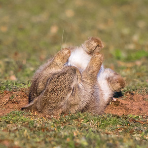 After a beautiful sunny day, this very young bunny decides it's time for a dust bath before bedtime as it rolls around in the dry sand in a farmers field.