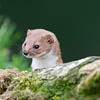Portait of a stoat