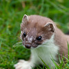 Stoat - a portrait