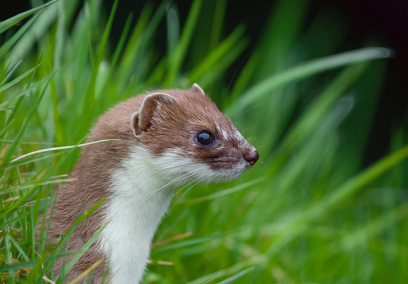 Side view of a stoat
