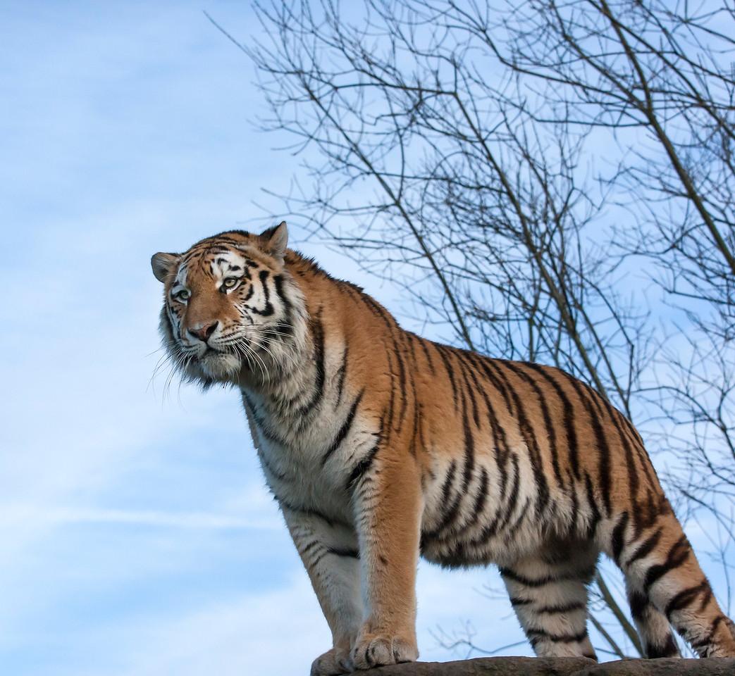 Sumatran Tiger on the lookout