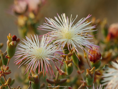 Photographed at Sanbona Wildlife Reserve near  Barrydale, this photo just does not have enough depth of field to get both flowers of the brakveldwitvygie in focus, despite being shot at f11.